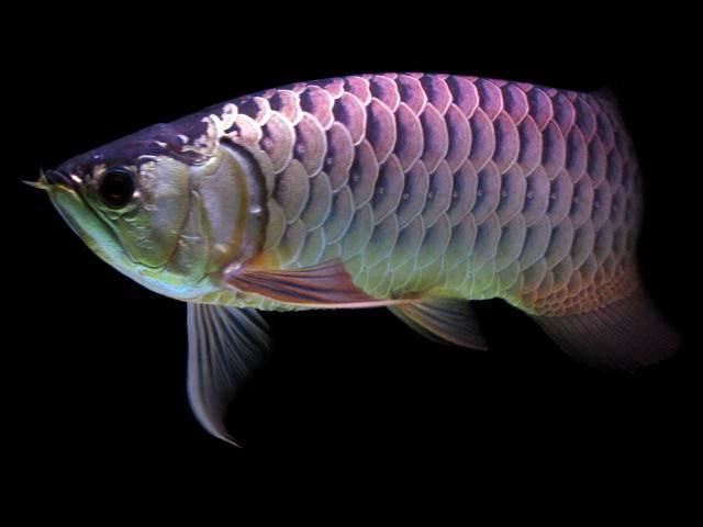 金龙鱼多少钱一条_金龙鱼的价格是多少钱一条?-成年金龙鱼多少钱一条?_补肾参考网